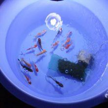 14匹の金魚(金魚のタル飼い)