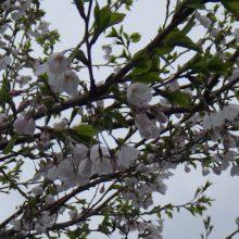 ファーム*ジャグロンズ 兎農園、今季の初植え