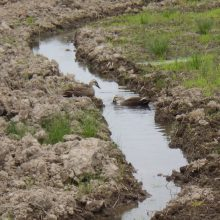遂に鴨のつがいが飛来。「畑の一角サンクチュアリ計画」進行中。
