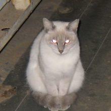 礼儀正しい猫「ヤマネコのシロ」