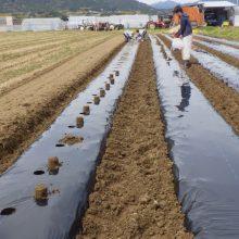 皆で最後の農作業、里芋「サカエ1950」の植え付け