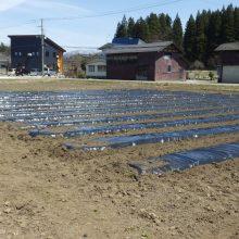 2019年4月22日 ファーム*ジャグロンズ兎農園、エダマメの定植始まりました。